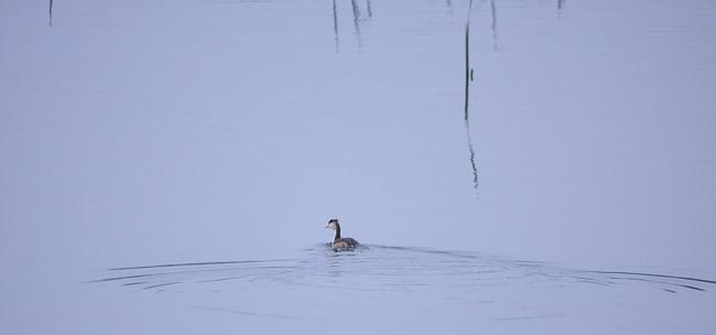冬の渡り鳥到来、初撮り三種_c0217255_13331487.jpg