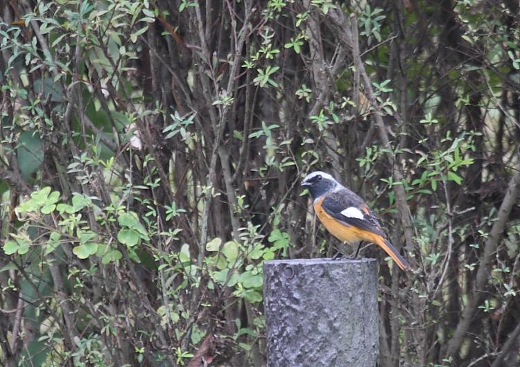 冬の渡り鳥到来、初撮り三種_c0217255_1337044.jpg