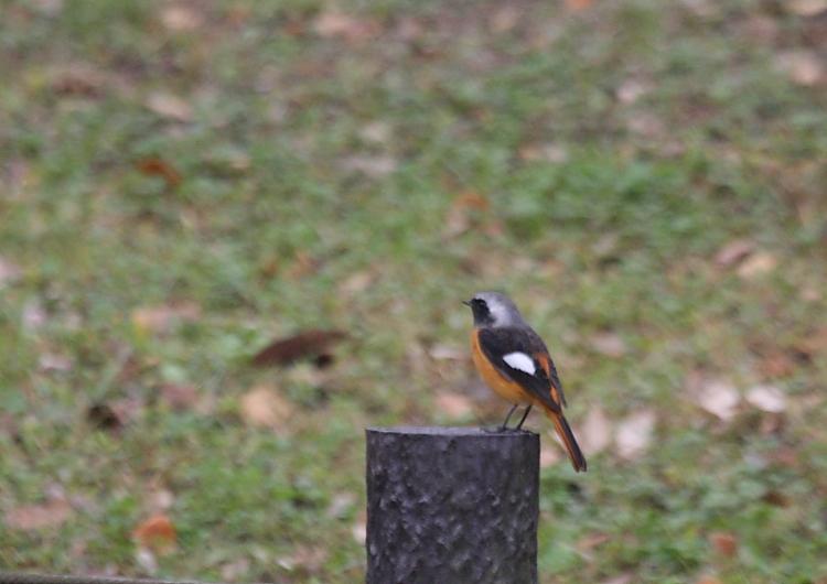 冬の渡り鳥到来、初撮り三種_c0217255_13372676.jpg