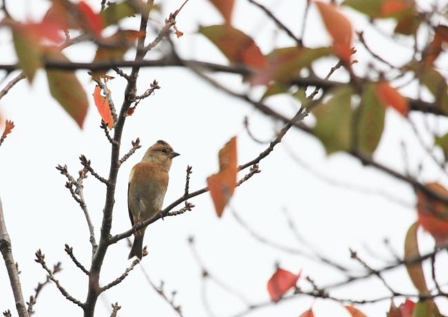 冬の渡り鳥到来、初撮り三種_c0217255_13405550.jpg