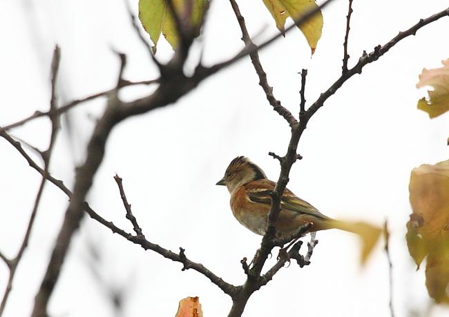 冬の渡り鳥到来、初撮り三種_c0217255_13415527.jpg