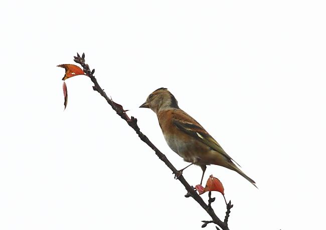 冬の渡り鳥到来、初撮り三種_c0217255_13422396.jpg