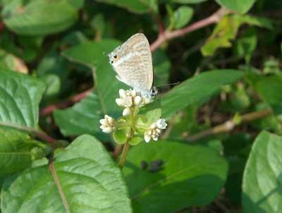 ハウスの周りで (蝶ウラナミシジミを撮ってみました)_e0097770_12363897.jpg