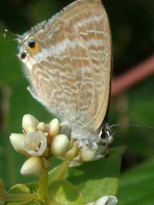 ハウスの周りで (蝶ウラナミシジミを撮ってみました)_e0097770_12373678.jpg