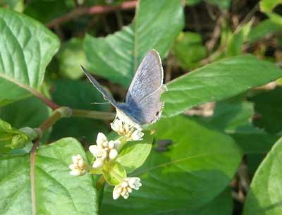 ハウスの周りで (蝶ウラナミシジミを撮ってみました)_e0097770_12374930.jpg