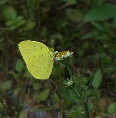ハウスの周りで (蝶ウラナミシジミを撮ってみました)_e0097770_12382054.jpg