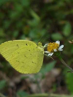 ハウスの周りで (蝶ウラナミシジミを撮ってみました)_e0097770_1238334.jpg