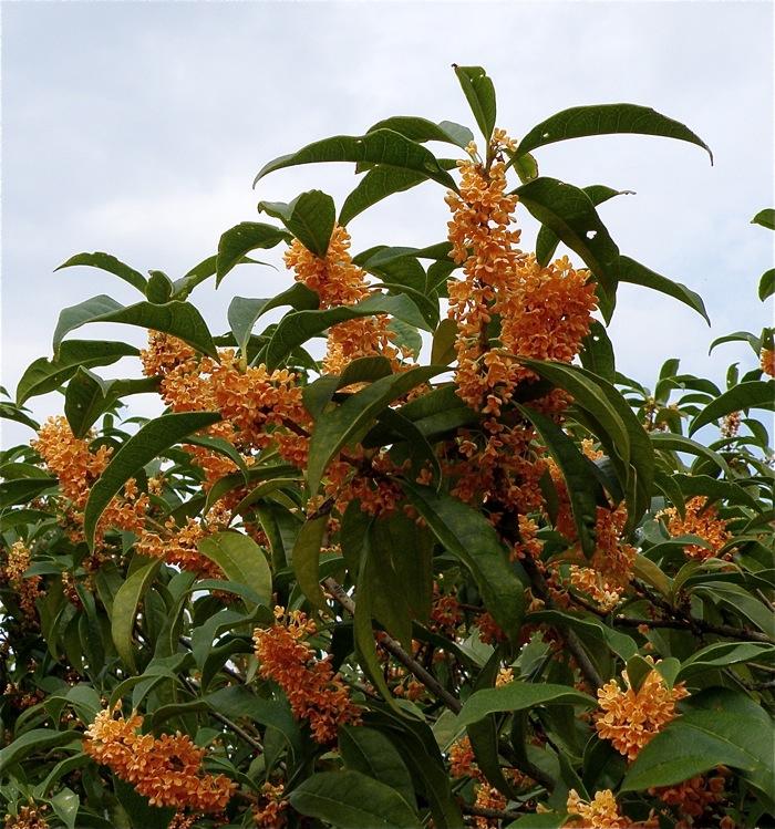 (実のひとつだになき)キンモクセイの花の行方・その2_d0006690_11262567.jpg