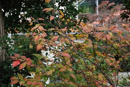 ナツハゼの紅葉 と マユミの実_c0124100_17473059.jpg