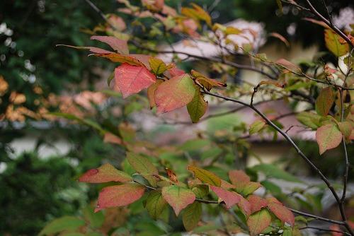 ナツハゼの紅葉 と マユミの実_c0124100_1747508.jpg
