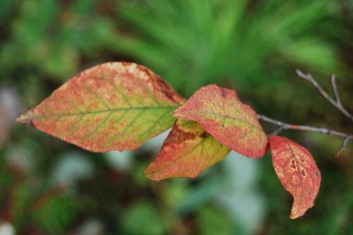 ナツハゼの紅葉 と マユミの実_c0124100_1748646.jpg