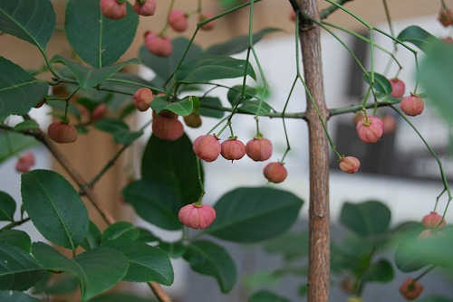 ナツハゼの紅葉 と マユミの実_c0124100_17505980.jpg