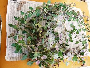 オレガノ収穫_f0134268_19423068.jpg