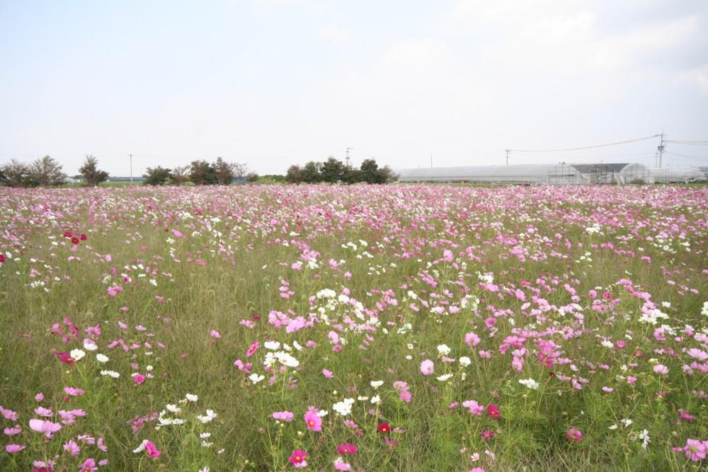 秋桜!満開…柳川のコスモス園_d0082356_15544330.jpg