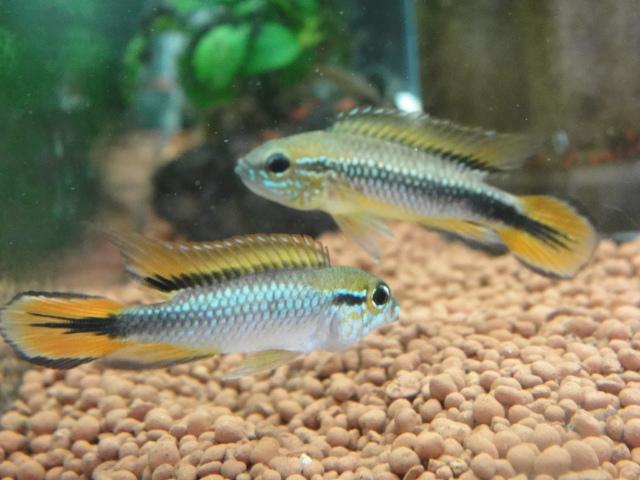 熱帯魚・金魚・水草_f0189122_17401768.jpg