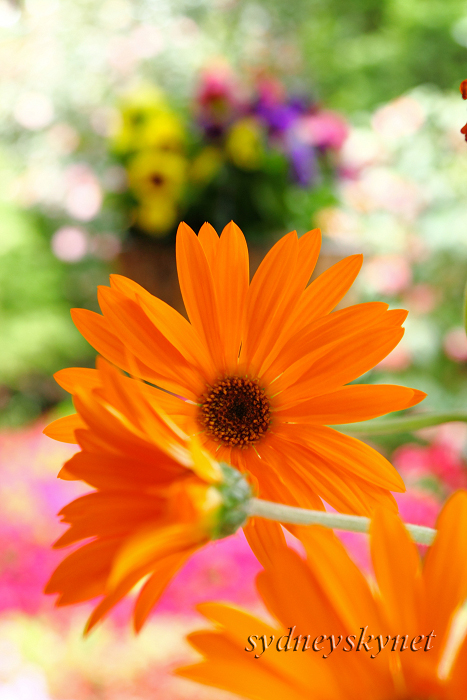 花 乱 舞 09年度版 その4 Orange Yellow_f0084337_20404816.jpg
