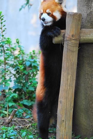 小熊猫の情景_f0014748_7424176.jpg