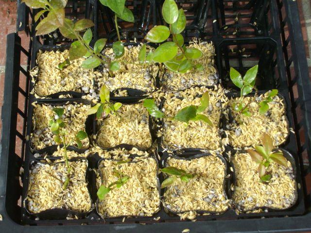 ホルトブルーペティットの挿し木発根率@ブルーベリー栽培_f0018078_10265024.jpg