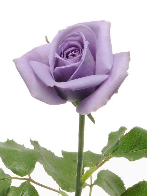 Blue Rose_f0011179_2346348.jpg