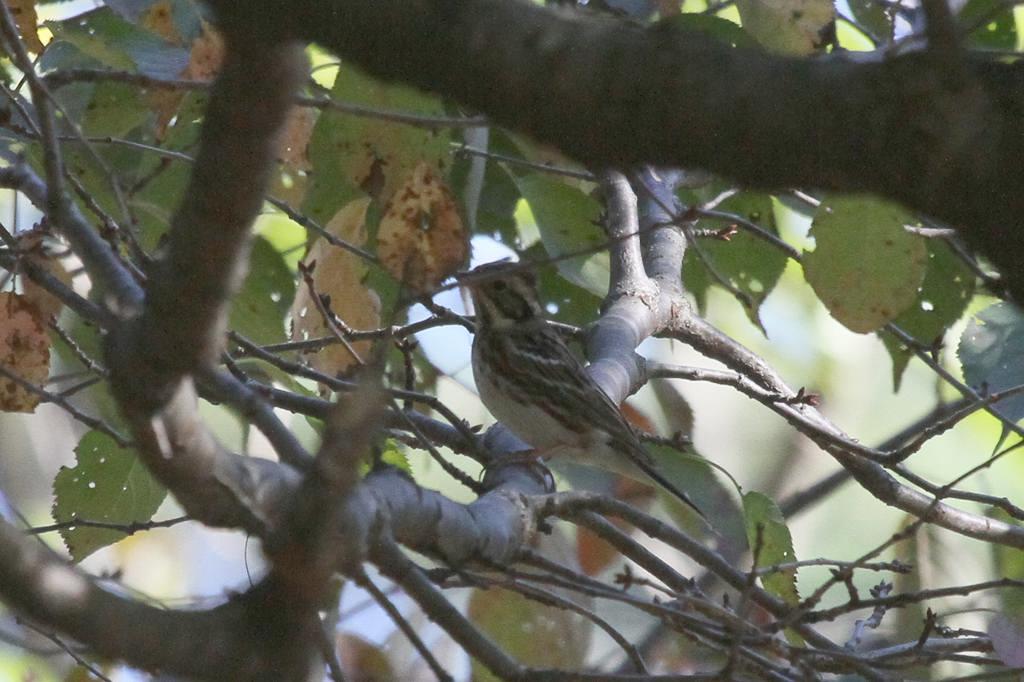 木の上のカシラダカ_b0024798_2121044.jpg