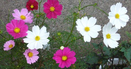 秋桜_a0111125_20571469.jpg