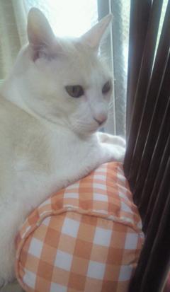 白い猫_b0105719_9464313.jpg