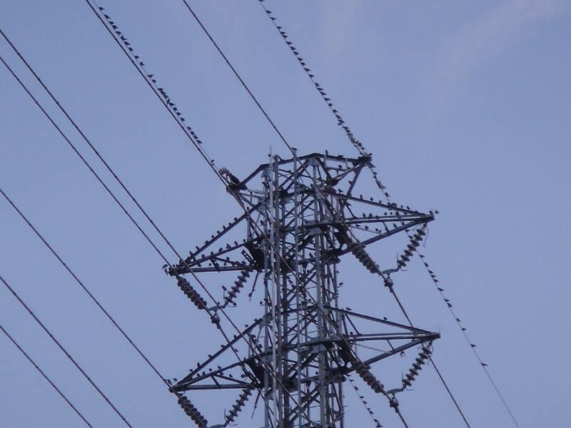高圧鉄塔とムクドリ_f0059673_7225774.jpg