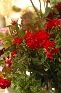 大人な感じの赤い花_e0130779_22322759.jpg