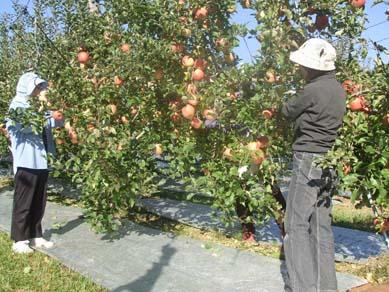 槙林農園 りんごの葉摘み_e0187897_1022138.jpg