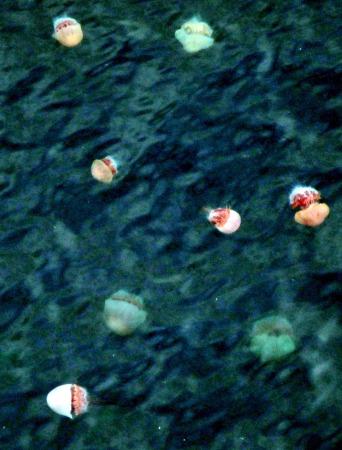 エチゼンクラゲ 日本海で大発生…3年ぶり_b0052564_14553464.jpg