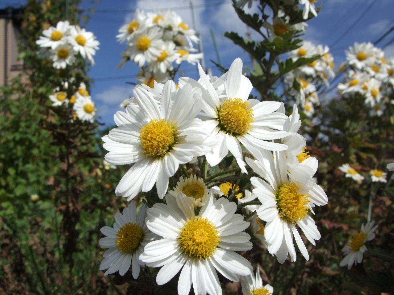 秋はやっぱり菊の季節_f0100593_12353034.jpg