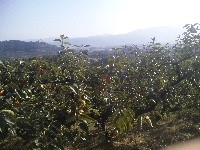 まもなく、早生富有収穫です。_f0018099_12331784.jpg