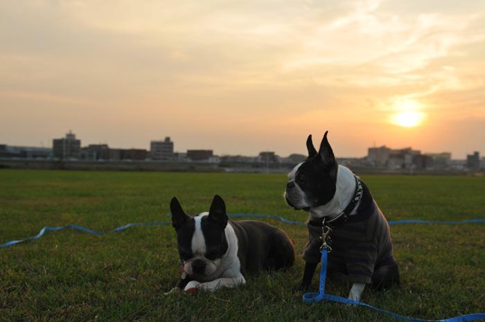 河原と夕陽と走るボストンと動かないボストン_b0133509_16154773.jpg