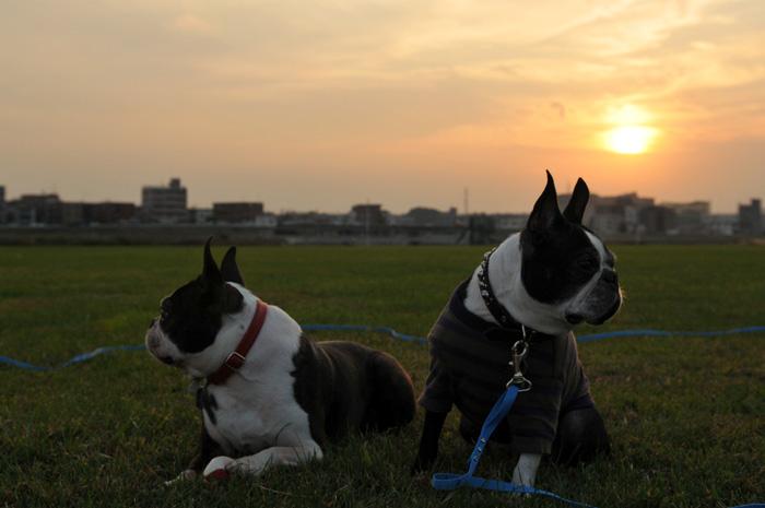 河原と夕陽と走るボストンと動かないボストン_b0133509_16164339.jpg