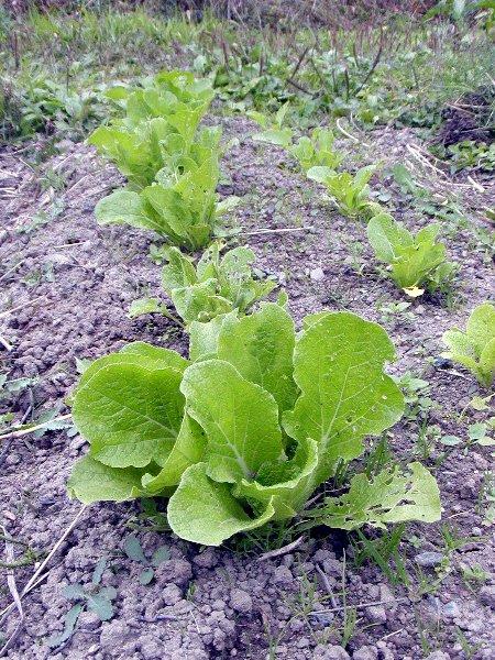 秋蒔きした野菜たち_c0057390_22332642.jpg