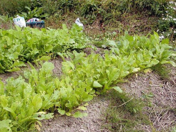 秋蒔きした野菜たち_c0057390_2233317.jpg