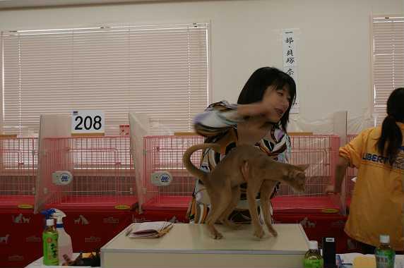 TICA AJC キャットショー@チョコちゃんデビュー&ブルースリー_e0033609_1638312.jpg