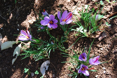 3年目のサフランの花…_c0124100_22122760.jpg