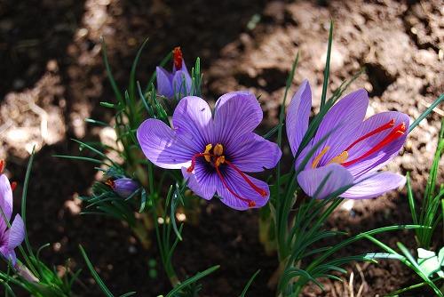 3年目のサフランの花…_c0124100_22123816.jpg