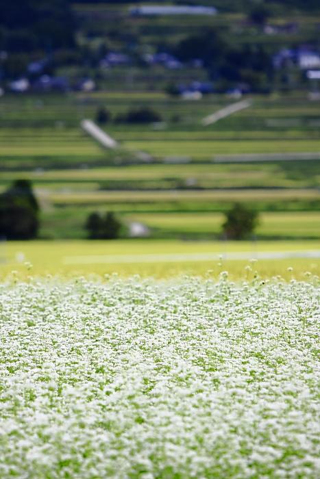 蕎麦の花と棚田_e0135098_0221189.jpg