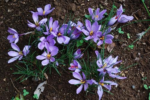 3年目のサフランの花…_c0124100_22275097.jpg