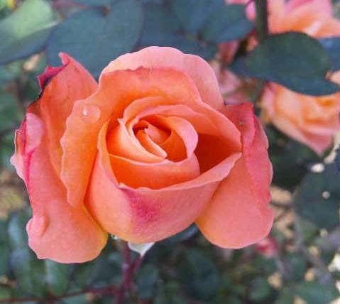 秋の薔薇を見に*_d0085018_0413672.jpg