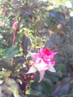秋の薔薇を見に*_d0085018_18923.jpg