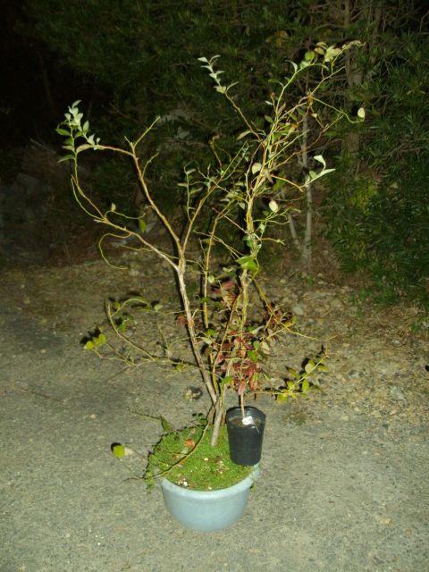 ブルーベリー、パテント品種の接ぎ木ニューバージョン_f0018078_18563966.jpg