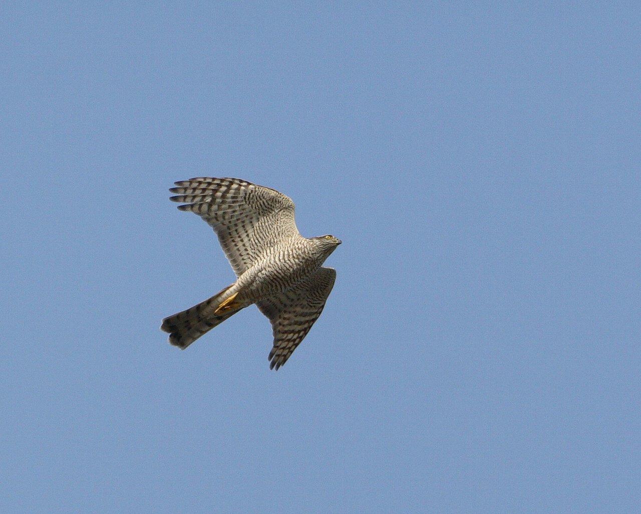 伊良湖で逢えそうな猛禽達_f0105570_2281748.jpg