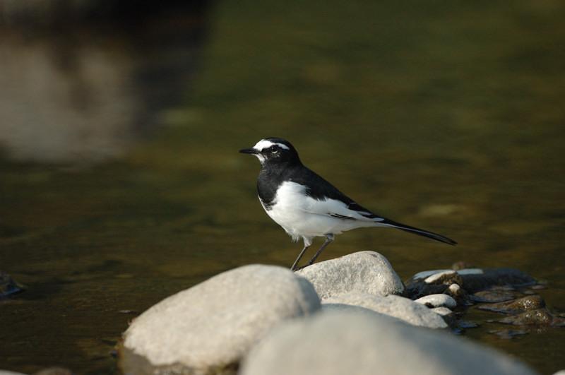 河原の野鳥たち_d0099854_2123870.jpg