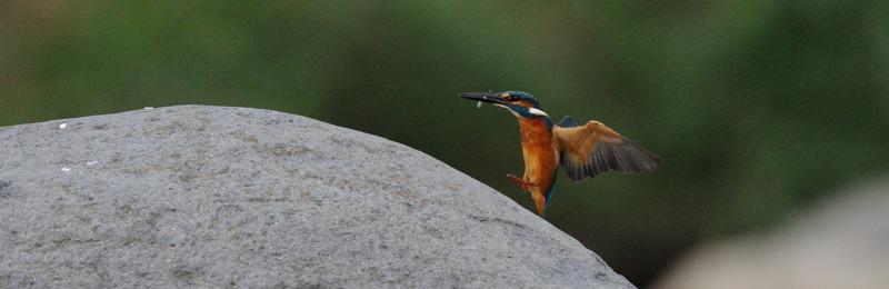 河原の野鳥たち_d0099854_21273793.jpg