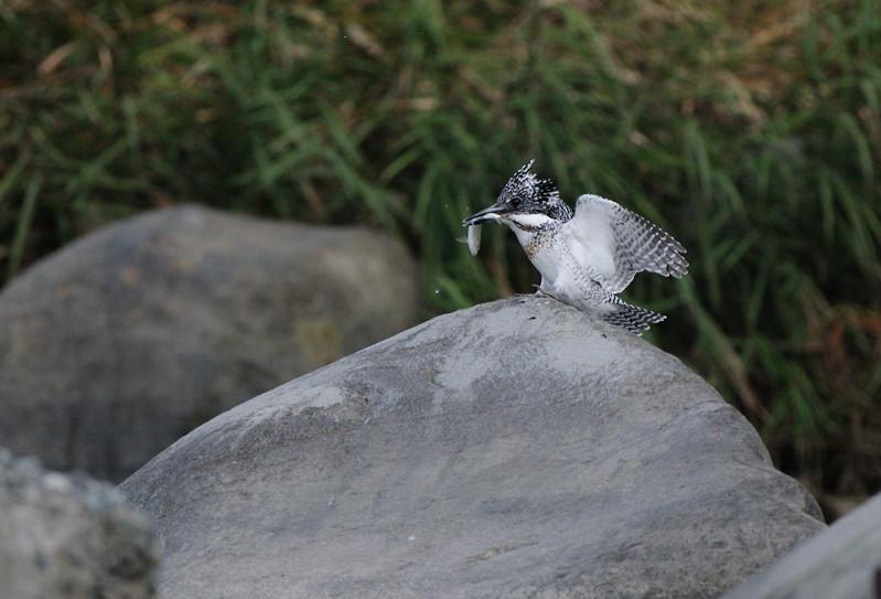 河原の野鳥たち_d0099854_21292696.jpg