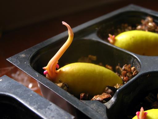 キヤニモモの発芽
