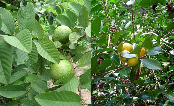グァバ(左側)とイエローストロベリーグァバ(右側)の葉の違い